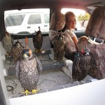 Back sit perch converted to a falcon perch