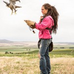 Releasing falcon to chase starlings