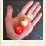 Export quality cherries