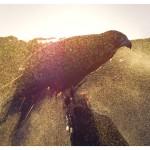 Cooling off Aplomado falcon