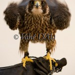 Falcon Rousing from front
