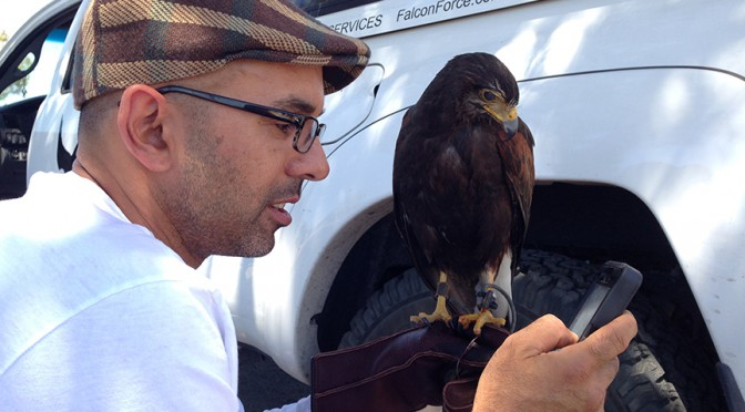 Vahe' calling the lost Harris Hawk's owner.