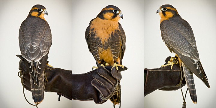 CLYDE - 1 year old male Aplomado Falcon