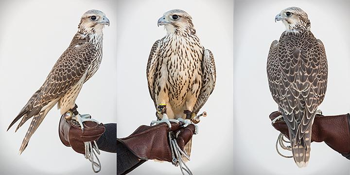 LUCIPHER - Male Juvenile Gyp/Peregrine Hybrid Falcon