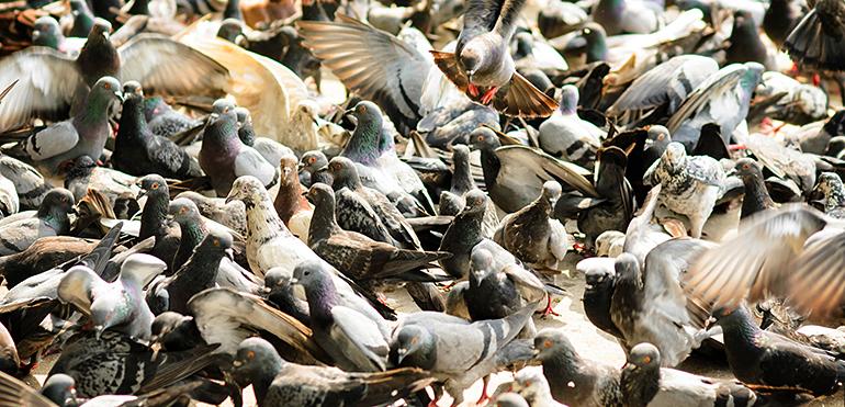Problem-pigeons-control