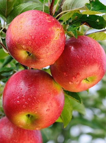Red-apples-Washington