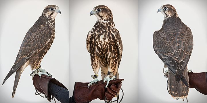 ROSTAM - 3 year old Saker Falcon