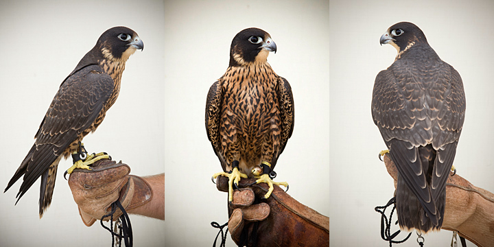 SPADE - 1 year old male peregrine falcon