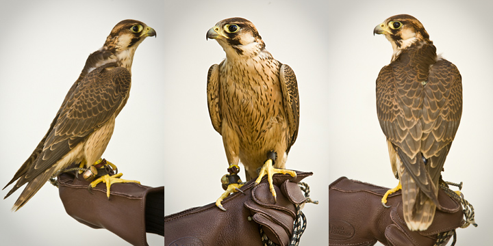 EAST TEXAS RED - 1 year old male Barbary Falcon