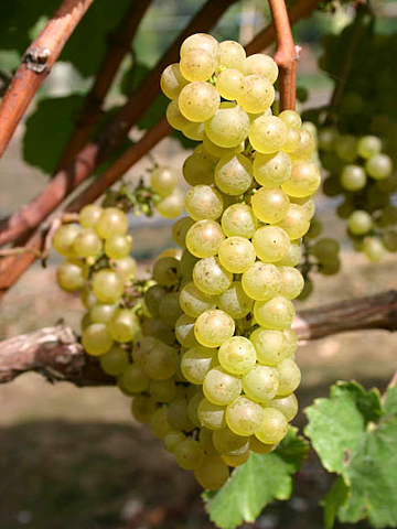 White-grapes