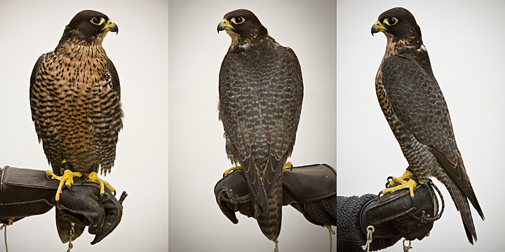 WRAITH - 4 year old male Gyr/Peregrine Hybrid