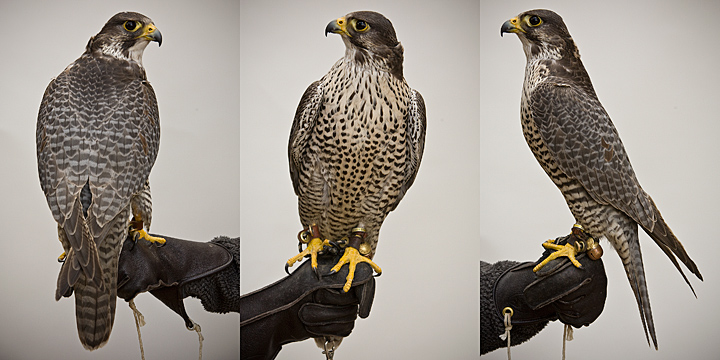 ACE 4 year old male Gyr/Peregrine Hybrid