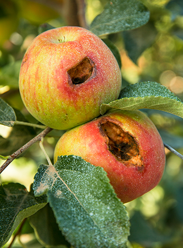 bird-dameged-apples-washington
