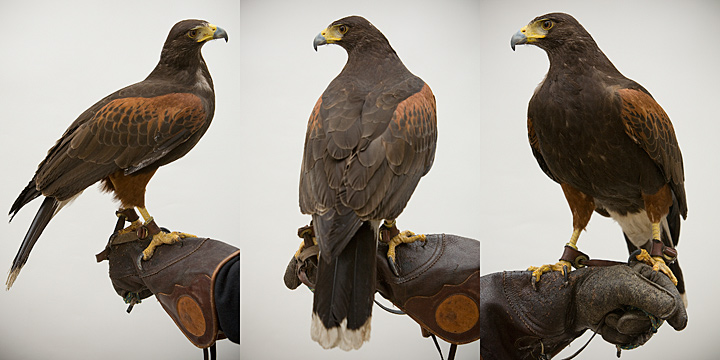 CLEAVER - 6 year old female Harris' Hawk