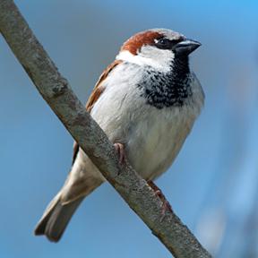 english-sparrow