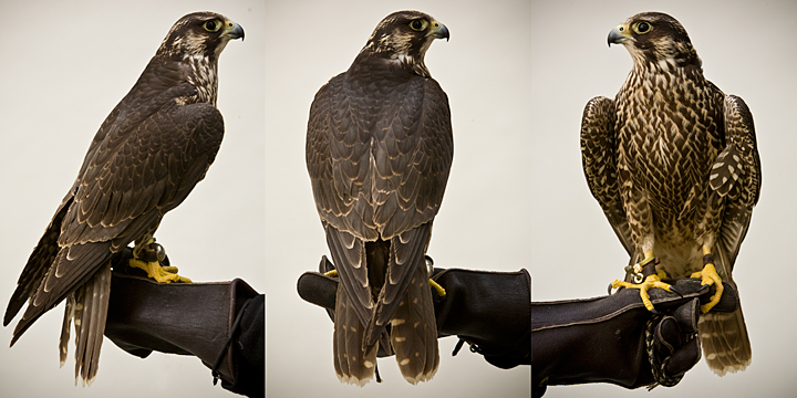 FLOYD - 1 year old male peregrine falcon