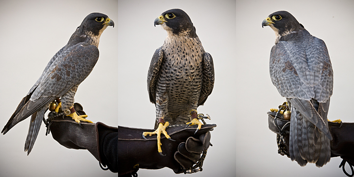 GENGHIS - 2 year old male peregrine falcon